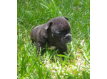 For Sale ANKC french bulldogs