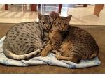 For Adoption Adult Ocicats