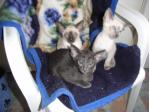 For Sale Siamese and Oriental kittens