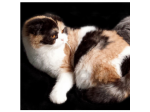 For Sale ADULT SCOTTISH FOLD AND SHORTHAIR CATS