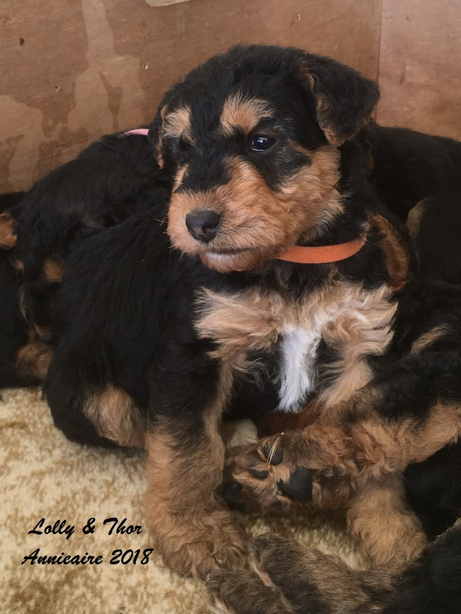 Annieaire Airedale Terrier Puppies gallery image
