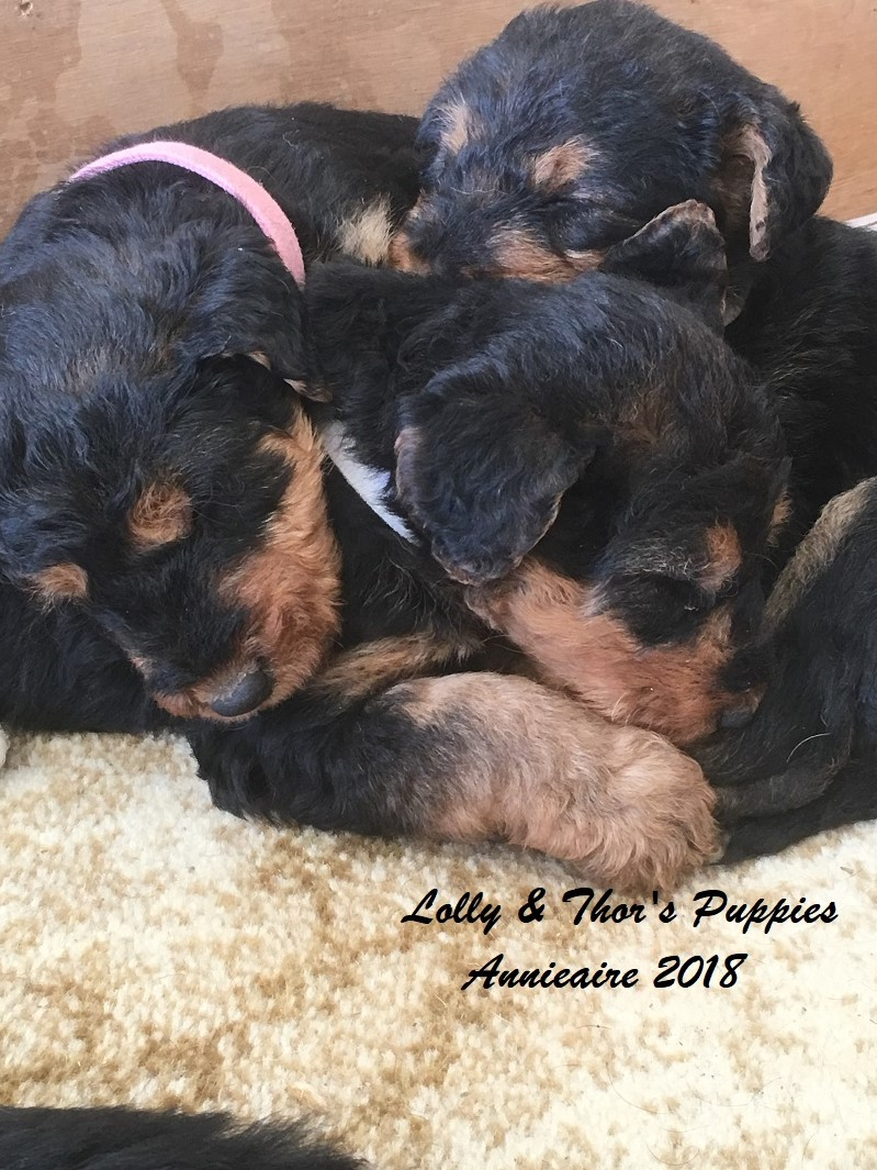 Annieaire Airedale Terrier Puppies For Sale gallery image