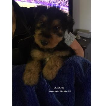Annieaire Airedale Terrier Puppies For Sale
