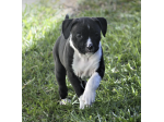 For Sale American Staffordshire Terrier Pups