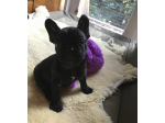 For Sale French Bulldog Pup