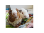 For Adoption Forrest and Wilson - Guinea Pigs