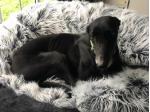 For Adoption Bella Female Greyhound