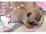 For Sale Burmese Kittens