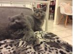 For Sale British Shorthair and Longhair kittens