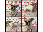 For Sale Fawn Pied French Bulldog