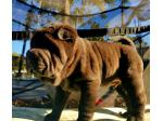 For Sale Shar pei puppies available Gold Coast QLD