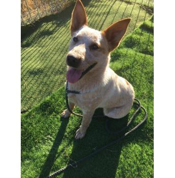 Luna *Life Force* So Affectionate And Sweet - Cattle Dog