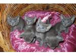 For Sale Korat kittens - Innerwest, Sydney
