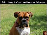 For Adoption QLD - Marco (m/2y) - Male Boxer