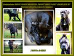 For Sale Cane Corso puppies