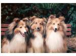 For Sale Shetland Sheepdog Puppies