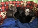 For Sale Oriental kittens