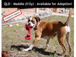 For Adoption QLD - Maddie (f/3y) - Female Boxer