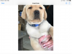 For Sale Labrador Retriever Puppies