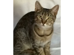 For Adoption Thelma - Female Domestic Short Hair