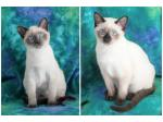 For Sale Beautiful Snowshoe Kittens available