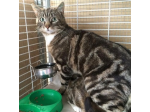 For Adoption Treble - Male Domestic Shorthair