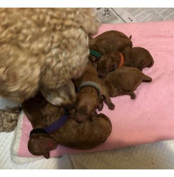 Miniature Poodle Puppies For Sale, Hobart, TAS