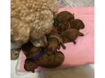 For Sale Miniature Poodle Puppies