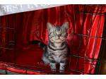 For Sale AMERICAN SHORTHAIR