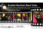 For Sale SCOTTISH SHORTHAIR KITTEN - Rare Black Tortie