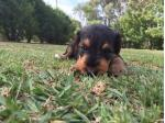 For Sale Airedale puppies
