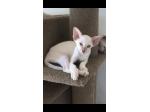 For Sale Pedigree Siamese female tabby point kitten
