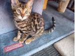 For Sale Bengal Brown Spotted Male