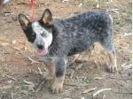 For Sale Australian Cattle Dog Pups