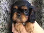 For Sale Cavalier King Charles Spaniel Puppies