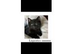 For Sale kittens all vetted Hobart