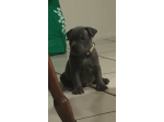 For Sale Pure bred Staffordshire Bull Terriers