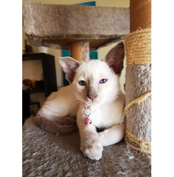 Siamese Lilac & Blue Point Female Kittens For Sale For Sale