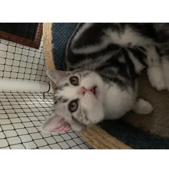 American Shorthair Black Silver Classic & White Kittens