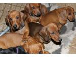 For Sale Dachshund Smooth puppies