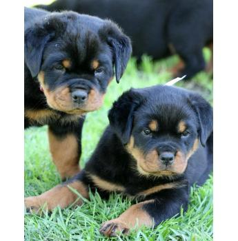 ***BEAUTIFUL FEMALE ROTTWEILER PUPPY AVAILABLE***
