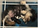 For Sale Havanese puppies born 7th Sep 2019