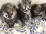 For Sale Maine Coon kittens