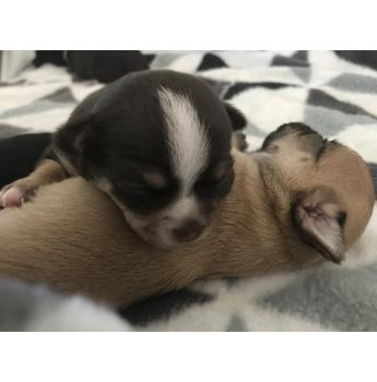 Purebred Chihuahua Pups