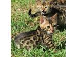 For Sale Bengal Kittens