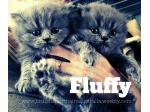 For Sale British Longhair Kittens