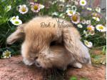 For Sale Rabbit - Mini Lop
