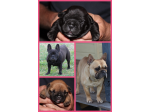 For Sale ANKC French Bulldog Puppies