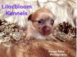 For Sale Chihuahua puppies available