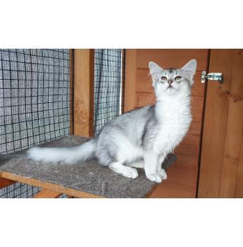 Somali kittens (Silvers)